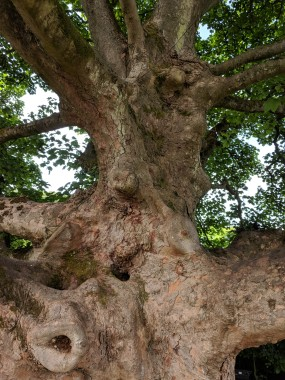 The oldest tree in the garden: A sycamore dating back to the 1700s