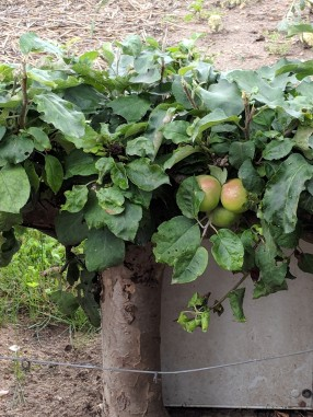 These apple trees were only about 2 feet tall! You had to bend over to pick the apples!