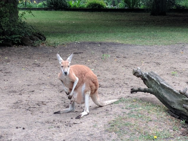 Look closely to see this mama's joey.