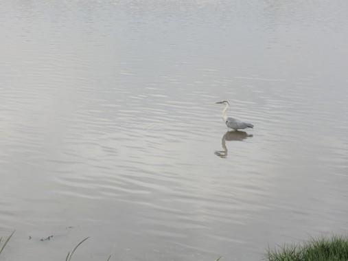 A blue heron shared our walk.